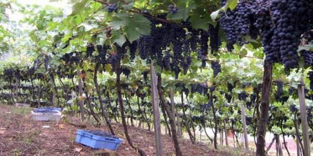 Química Verde: projeto da Embrapa agrega valor ao bagaço de uva
